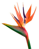 Bird of Paradise flowers in Winston Salem NC, Arcadia Flower Shop