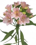 Alstroemeria Flowers in Winston Salem NC