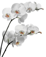 Phalaenopsis orchid flower in Winston Salem NC, Arcadia Flower Shop