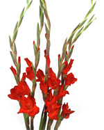 Gladiolus flower in Winston Salem NC, Arcadia Flower Shop