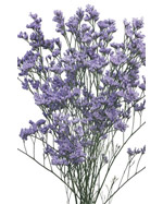 Limonium Flowers in Winston Salem NC, Arcadia Flower Shop