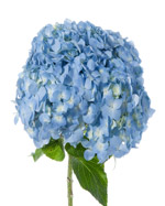 Hydrangea Flowers in Winston Salem NC, Arcadia Flower Shop