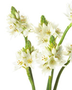 Star of Bethlehem Flowers in Winston Salem NC, Arcadia Flower Shop